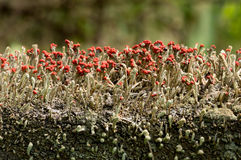 Cladonia cristatella or British Soldiers Lichen Stock Image