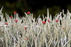 Cladonia de rouge à lèvres Photo libre de droits