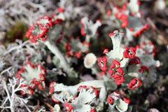 Cladonia pleurota lichen Stock Images