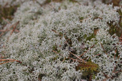 Cladonia rangiferina (reindeer lichen). Royalty Free Stock Photography