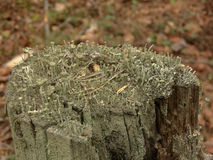 Cladonia sp. lichen on a stump. Mould  on a stump, Mold extremely large size, outdoors Stock Images