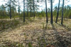 Cladoniastellaris i den polara skogen Nadym Yamal arkivfoton
