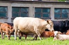 Claf en koeien op melkveehouderij Stock Afbeeldingen