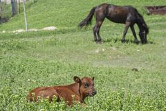 Claf and horse on the grassland Stock Photography