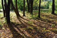 Clairière avec des arbres de tilleul et des feuilles tombées Photos stock