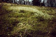 Clairi?re avec les fleurs blanches et les herbes images libres de droits
