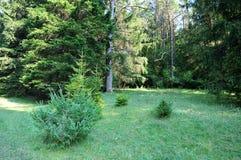 Clairière de forêt avec de jeunes arbres Images libres de droits
