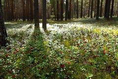 Clairière de forêt d'été avec de grandes belles canneberges rouges de baies Photographie stock
