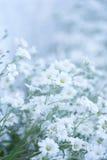 Clairière des fleurs sensibles blanches Fond floral Photo stock