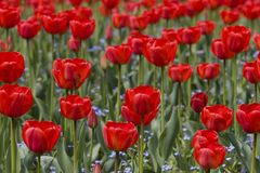 Clairière des tulipes Photos stock