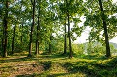 Clairière ensoleillée dans la forêt en bois de chêne avec le haut arbre vert Image stock