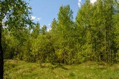 Clairière ensoleillée dans la forêt verte de ressort Image libre de droits
