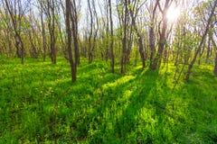 Clairière ensoleillée verte de forêt Images stock