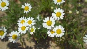 Clairière où les marguerites fleurissent Photographie stock libre de droits
