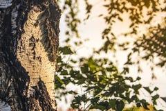 Clairière sur le fond de la forêt de bouleau photos libres de droits