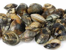 Clam Stock Images