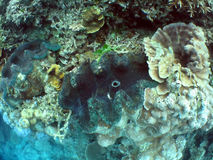 Clam. Giant clams in coral outcrop Stock Photography