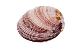 Clam Royalty Free Stock Image