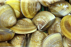Clam Stock Image