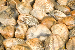 Clam backgound Stock Images
