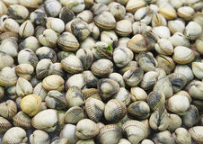 Clam background Stock Photos
