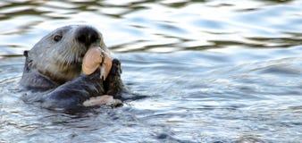 Clam Bake Otter Style Stock Photo