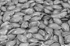 Clam black color Royalty Free Stock Photography