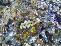 Clam fish in shell. Exotic island shore shallow water. Tropical seashore landscape underwater photo. Coral reef animal. Sea nature. Sea fish in coral. Undersea Royalty Free Stock Photos
