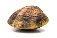 A clam Stock Photography