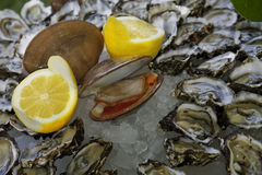 Clam and Oyster. Clam, oysters, and lemon over ice Stock Photos