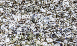Clam and Oyster Shells Royalty Free Stock Photo