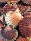 Clam Seashells photos stock
