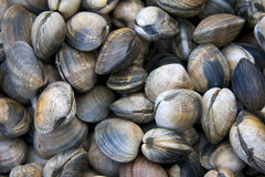 Clam shell background Royalty Free Stock Photography