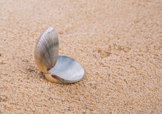 Clam Shell On Beach Sand I Royalty Free Stock Photos