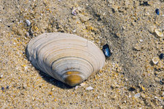 Clam shell bleached by the sun on Jersey shore Royalty Free Stock Photography
