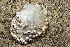 Shell encrusted with Barnacles stock photo