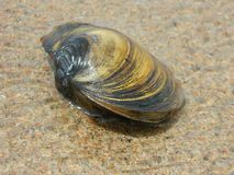 Free Clam Shell On The Beach Stock Image - 52012281