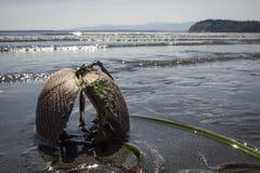 Clam Shell Stuck in Sandy Beach mit Wellen im Hintergrund lizenzfreie stockfotografie