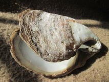 Clam Shell. Royalty Free Stock Images