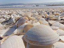 Clam shells on beach Royalty Free Stock Photos