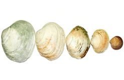 Clam shells Royalty Free Stock Image
