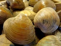 Clam Shells dans la cuisine photo libre de droits