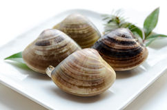 Clam shells. Fresh clam shells on white background Stock Images
