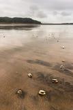 Clam shells on Karekare beach Royalty Free Stock Image