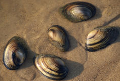 Clam shells on the sand at water edge. Five clam shells on the sand at water edge Royalty Free Stock Photos