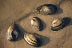 Clam shells on the sand at water edge Stock Photo