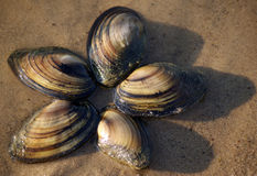 Clam shells on the sand at water edge. Five clam shells on the sand at water edge Stock Photos