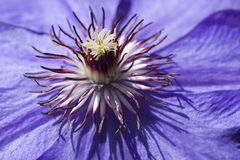 Clamatis Flower. Macro photo of a Clamatis blossom with selective focus on the centre portion Royalty Free Stock Photography