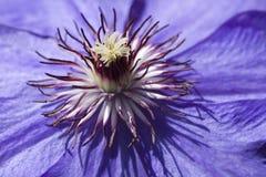 Clamatis kwiat Fotografia Royalty Free