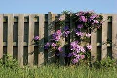 Clamatis vine climbing on wooden fence. Purple Clamatis on wooden fence Stock Photo